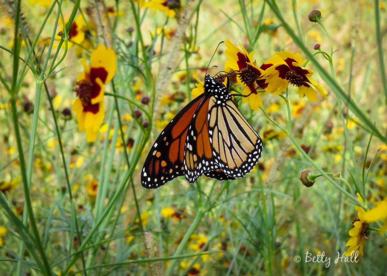 Monarch at arbortetum close-up