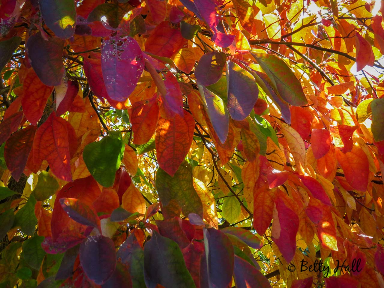 Sassafras leaves in October