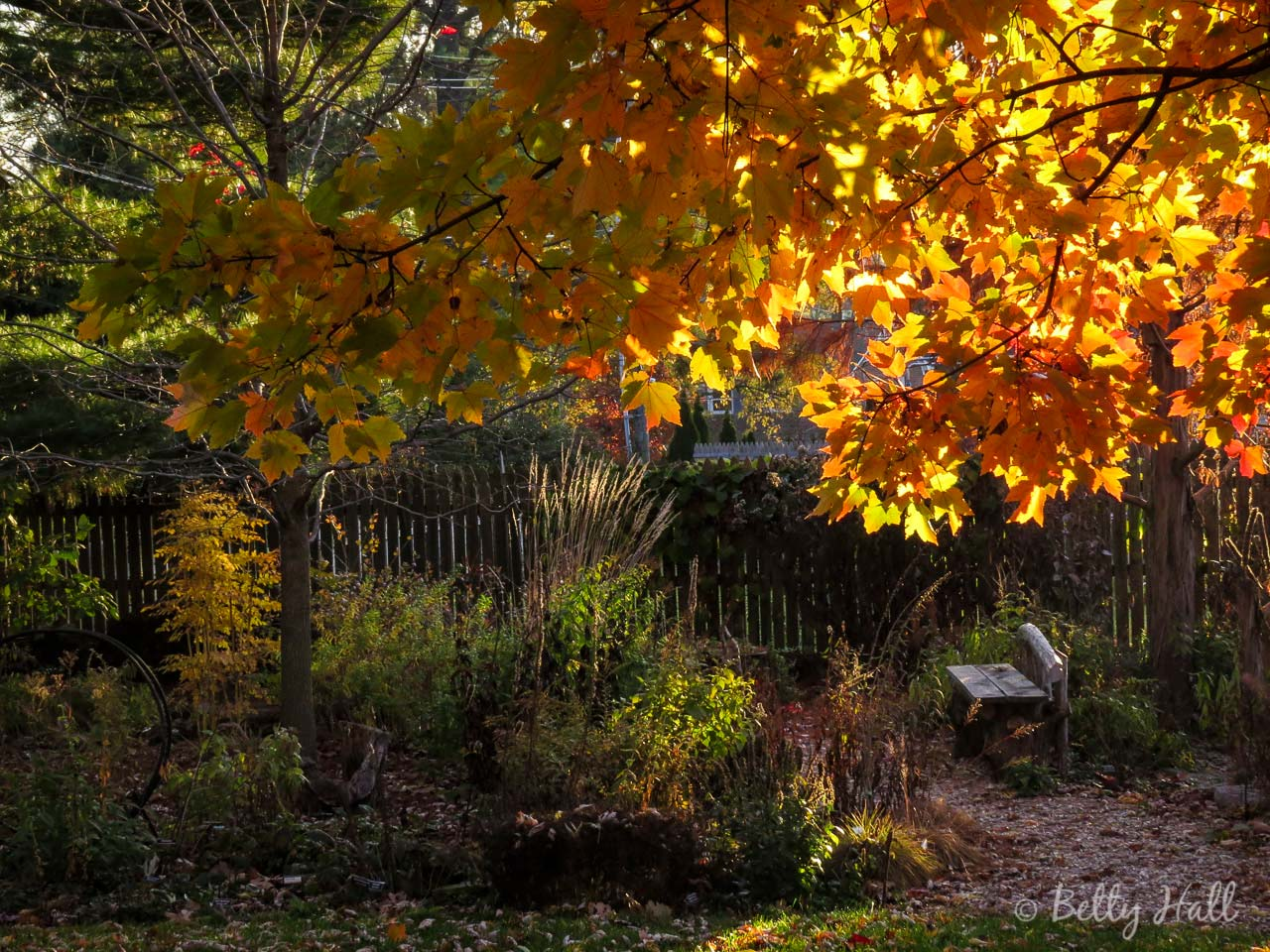 November garden and red maple leaves