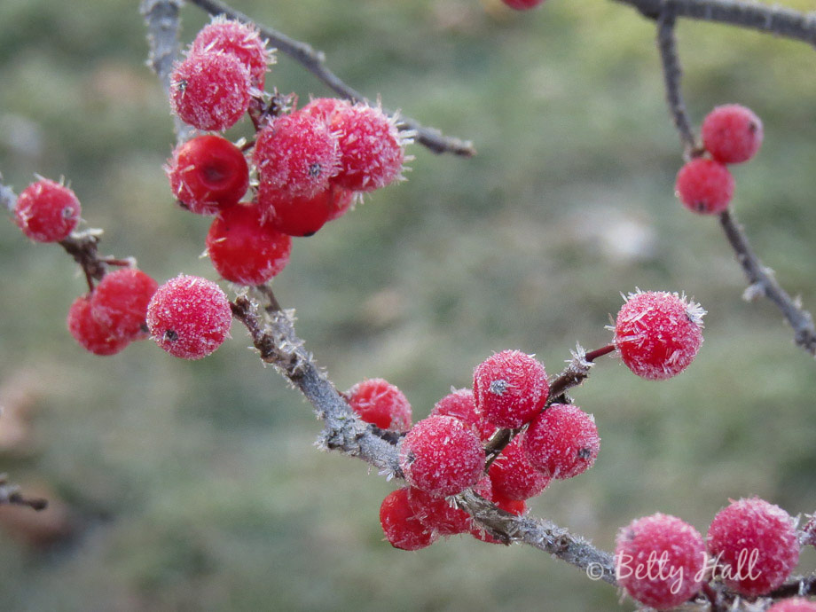 Winterberries and frost