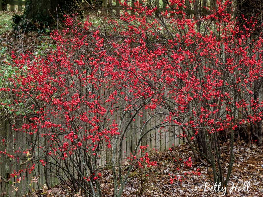 Winterberry shrubs