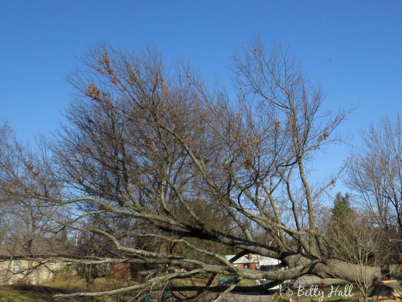 fallen pin oak tree