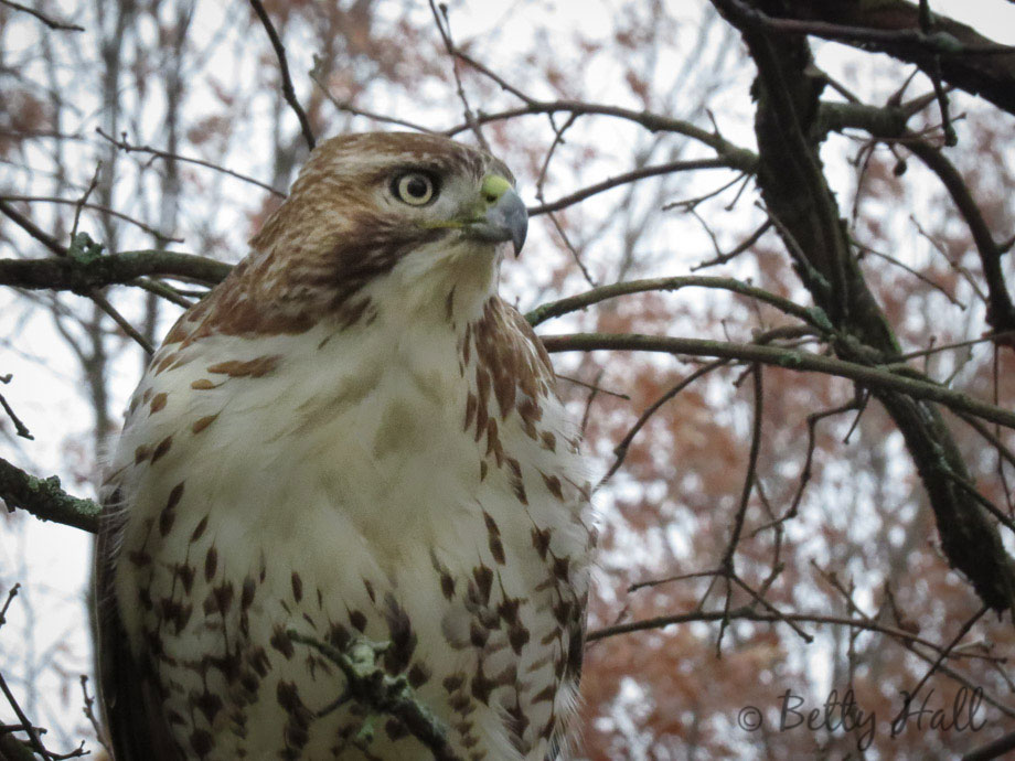 Immature Red-Tailed Hawk close-up