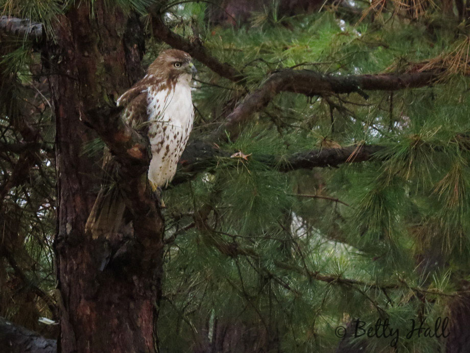 Immature Red-tailed Hawk with belly band
