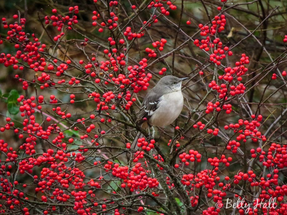 Mockingbird and winterberries