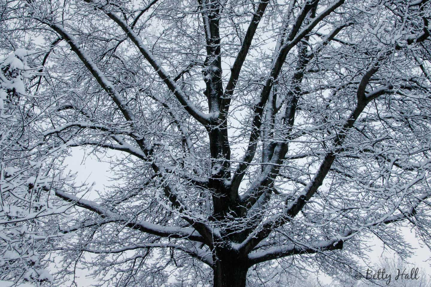 pin oak tree with snow
