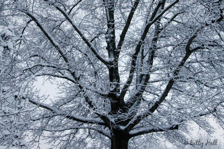 pin oak tree with snow
