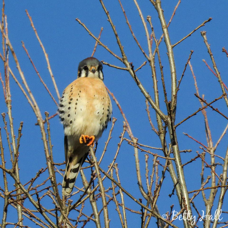 American Kestrel front view