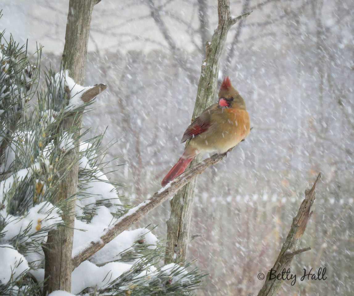 Female cardinal and snow