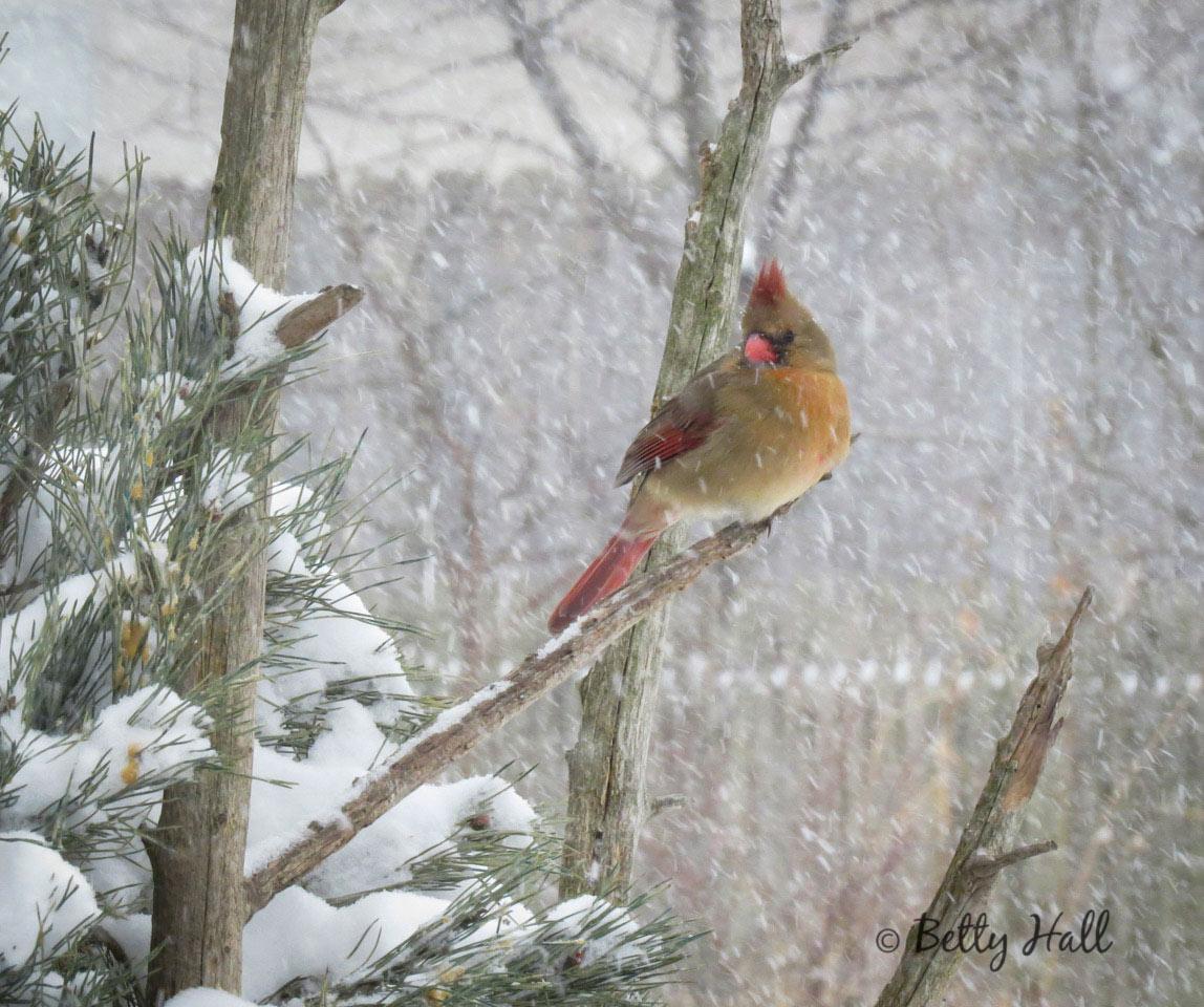Female cardinal and snow