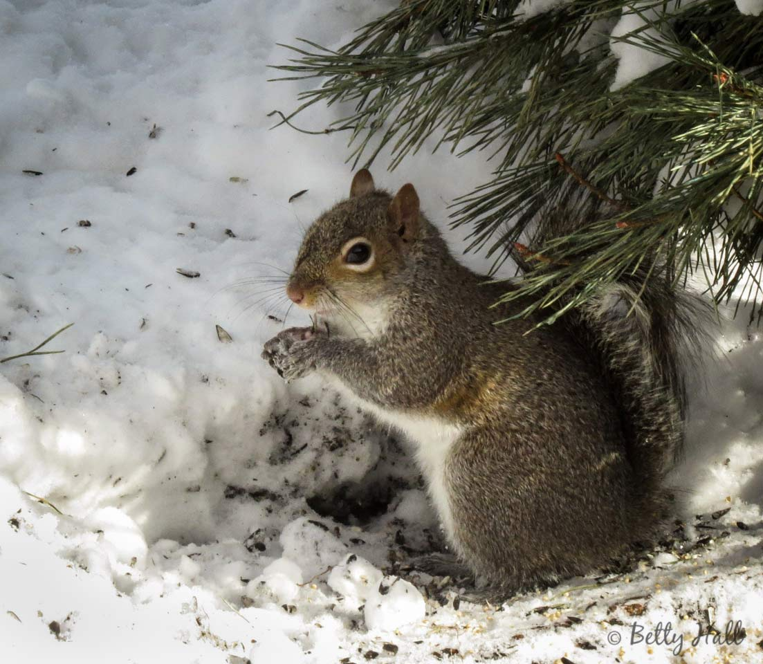 Eastern gray squirrel and snow