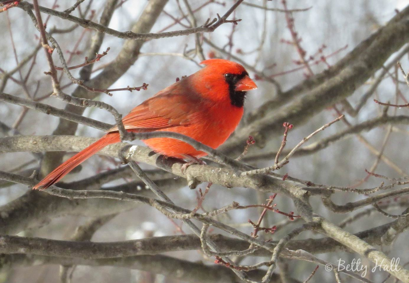 Brilliant male cardinal