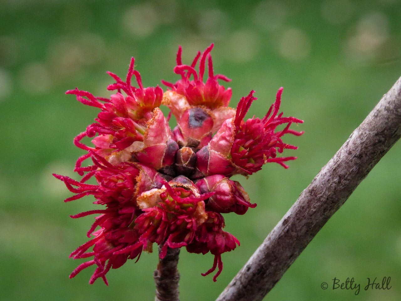 Close-up of female red maple flowersle-female-flowers