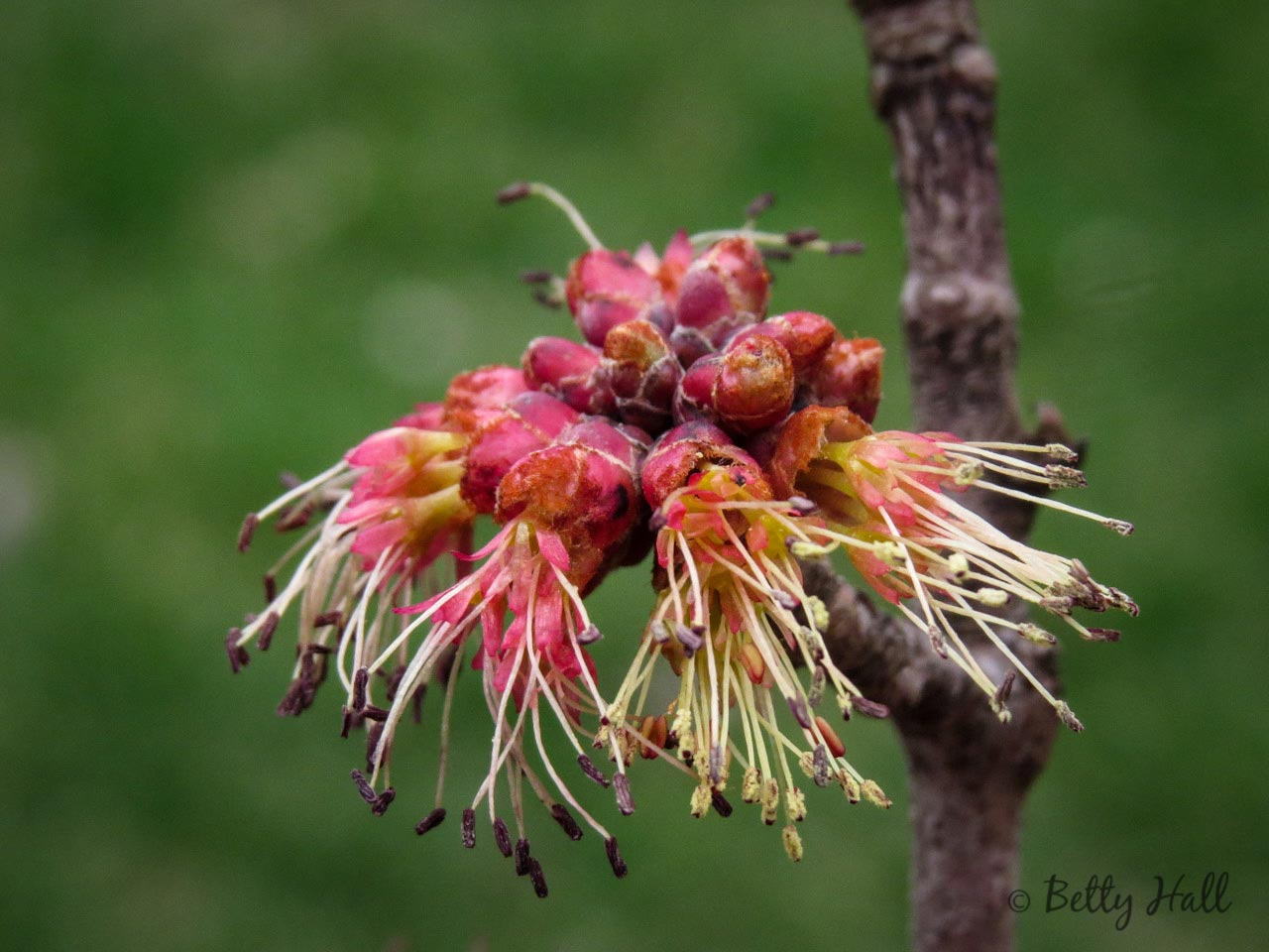 Close-up of red maple male flowerse-flowers