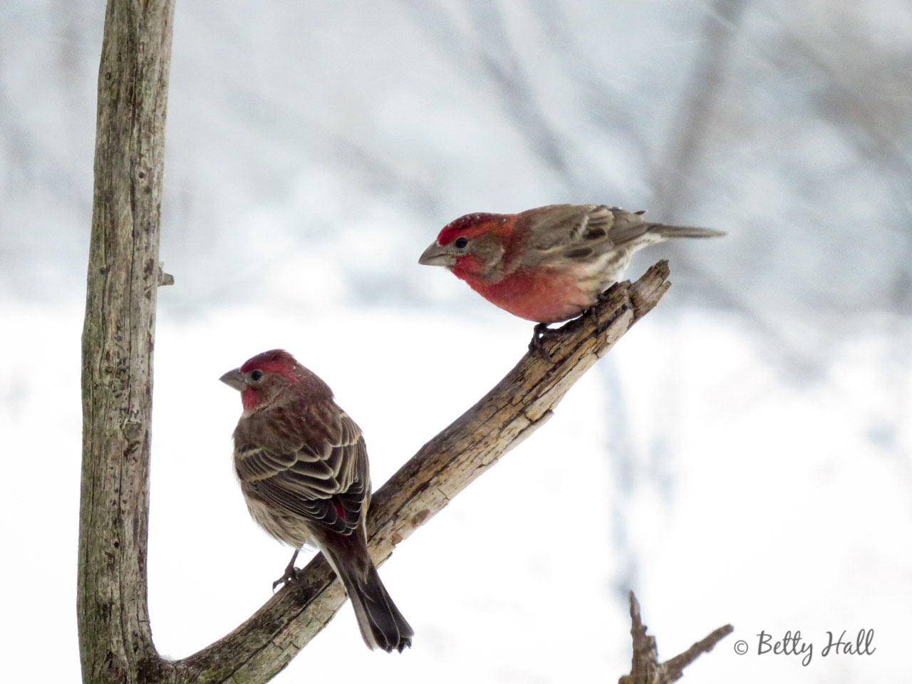 Two male House Finches