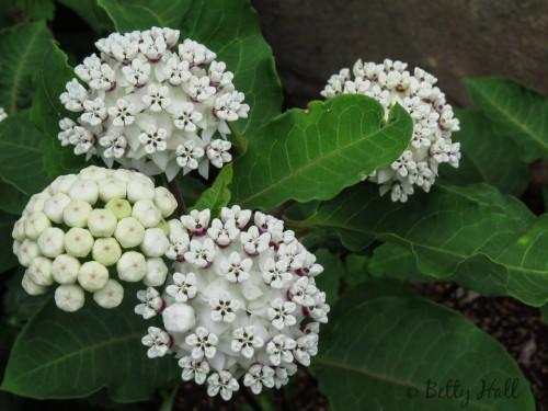 White milkweed close-up