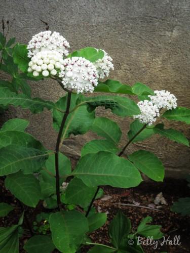 White milkweed in bloom