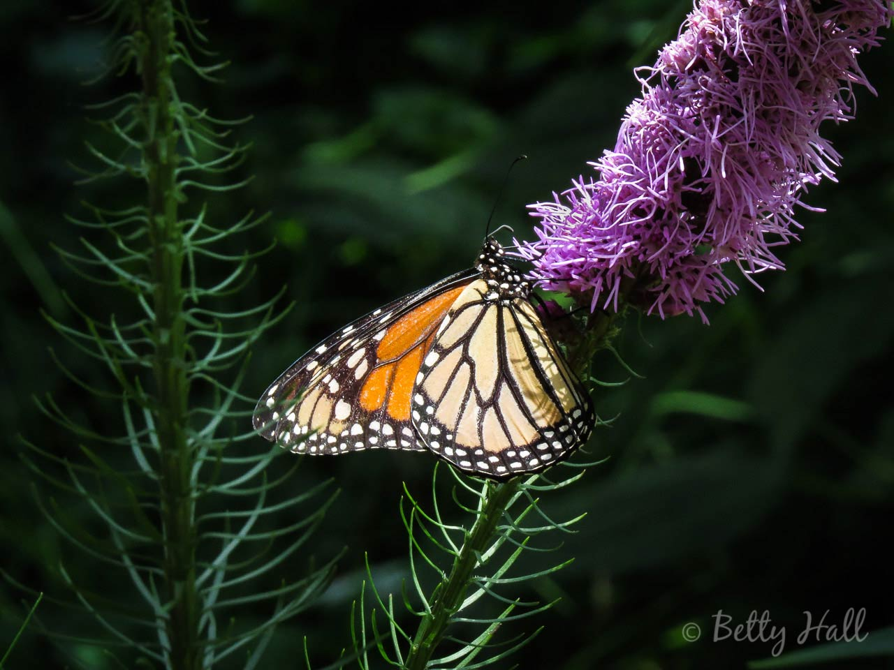 Monarch nectaring on Blazing Starmonarch-nectaring on-blazing-star
