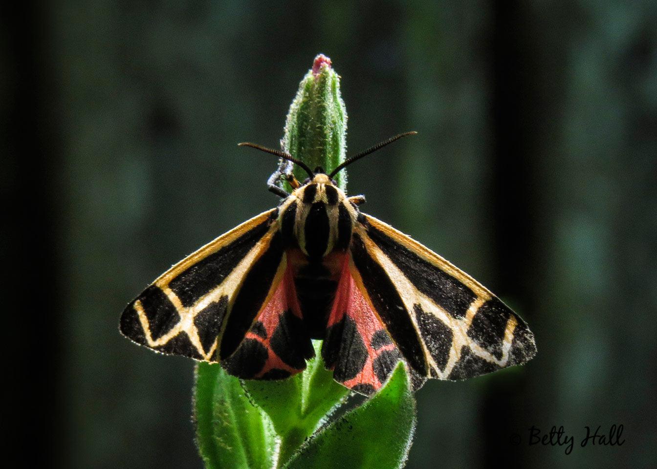 Small tiger moth on royal catchfly bud