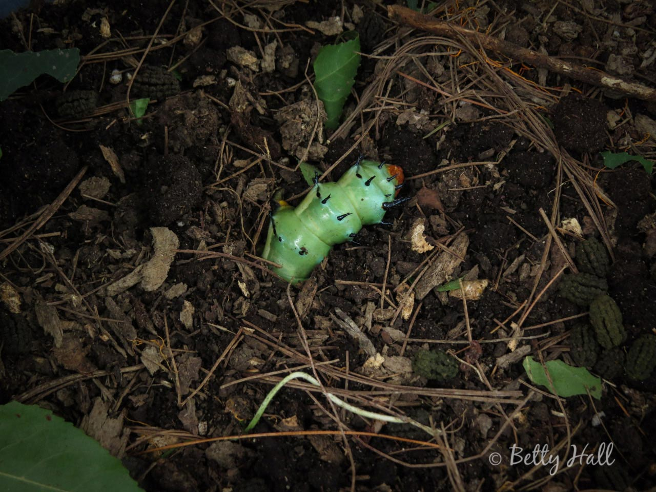 Hickory horned devil caterpillar burrowing into dirterpillar--burrowing-into-dirt