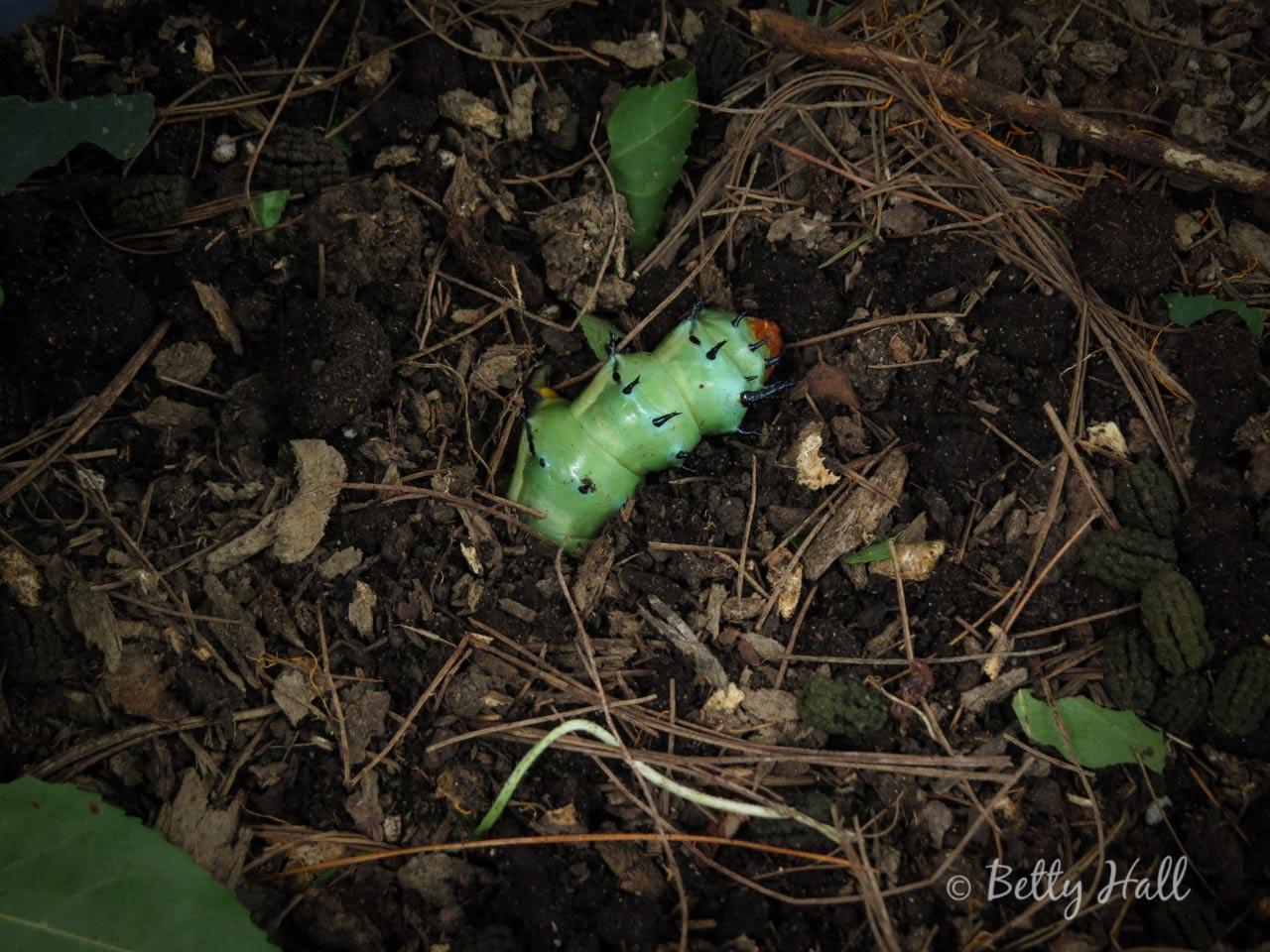 Hickory horned devil caterpillar burrowing into dirterpillar--burrowing-into-dirt