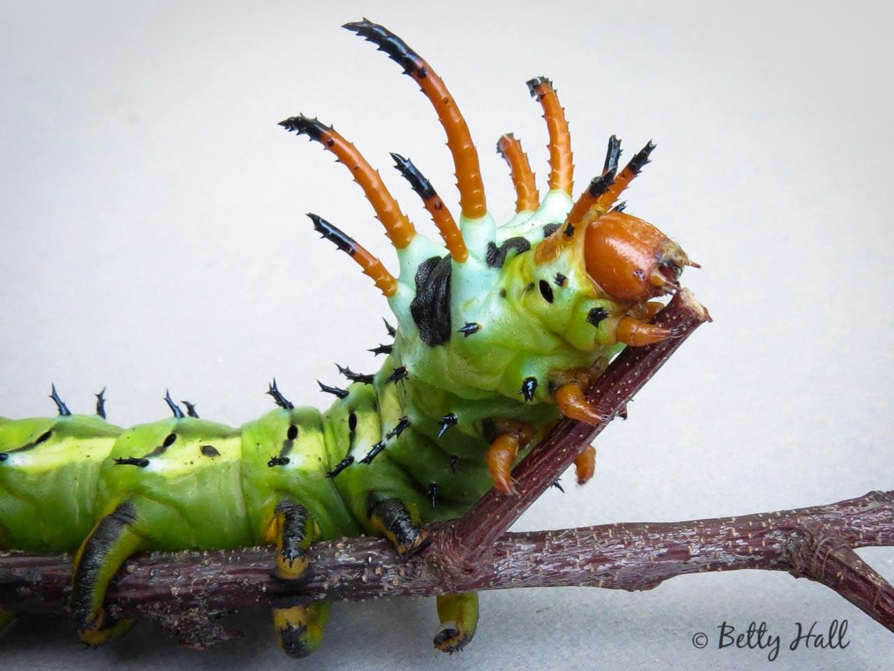 HIckory horned devil- close-upHickory-horned-devil-caterpillar-close-up