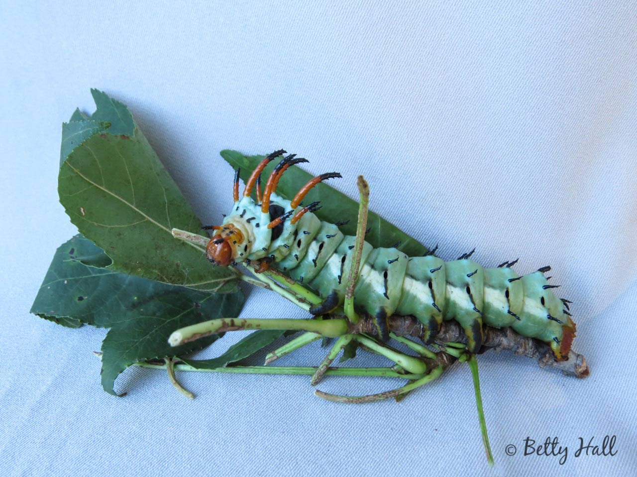Hickory horned devil caterpillar - turquoise phase