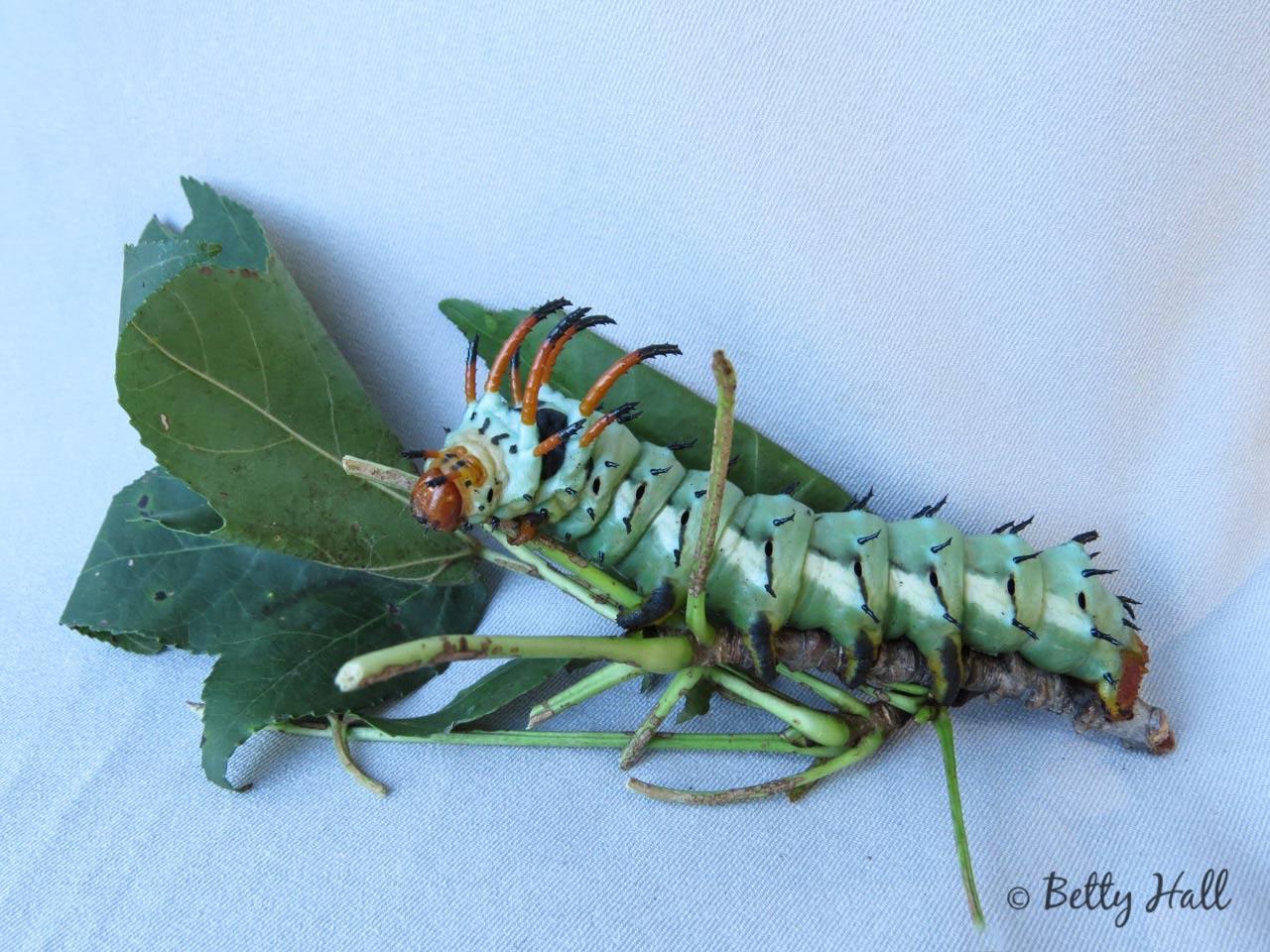 Hickory horned devil caterpillar - turquoise phase