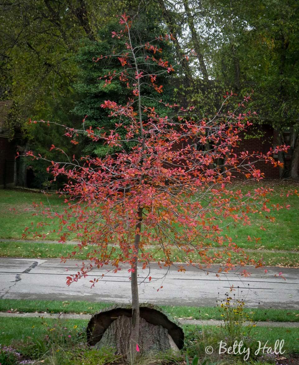 Small tupelo tree in October