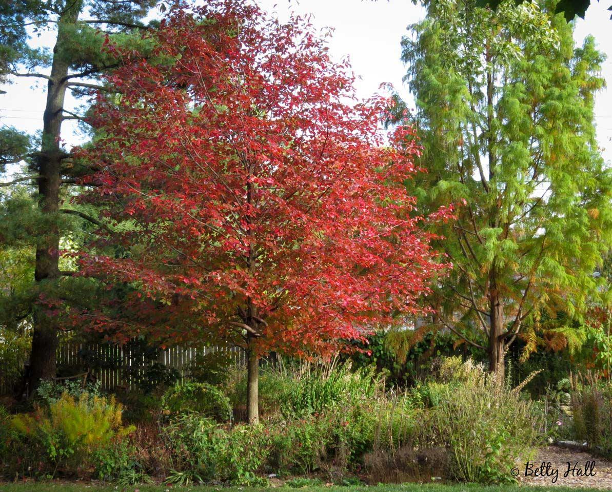 Tupelo tree in Octoober