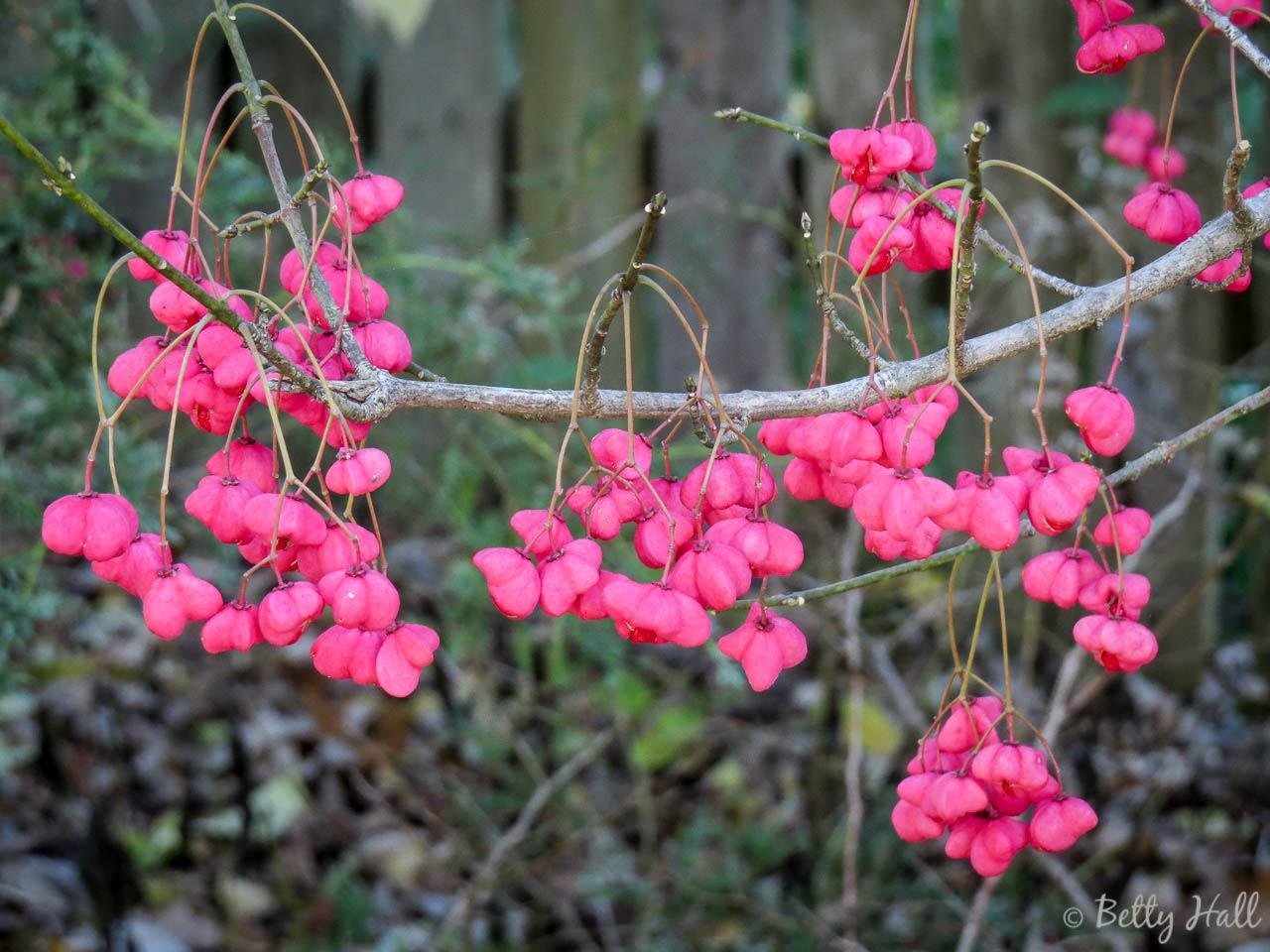 Wahoo tree seed pods