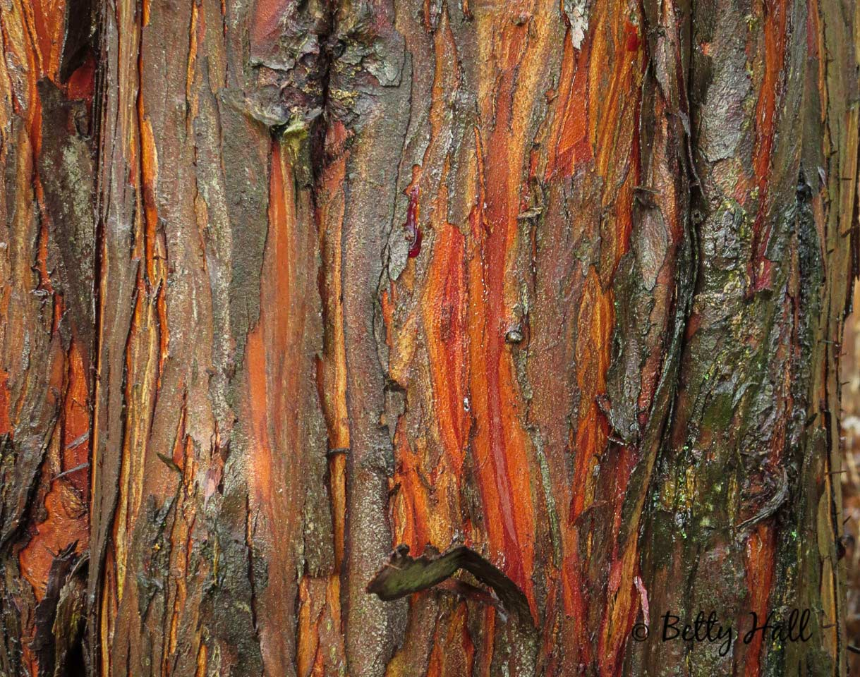 Bark of bald cypress tree