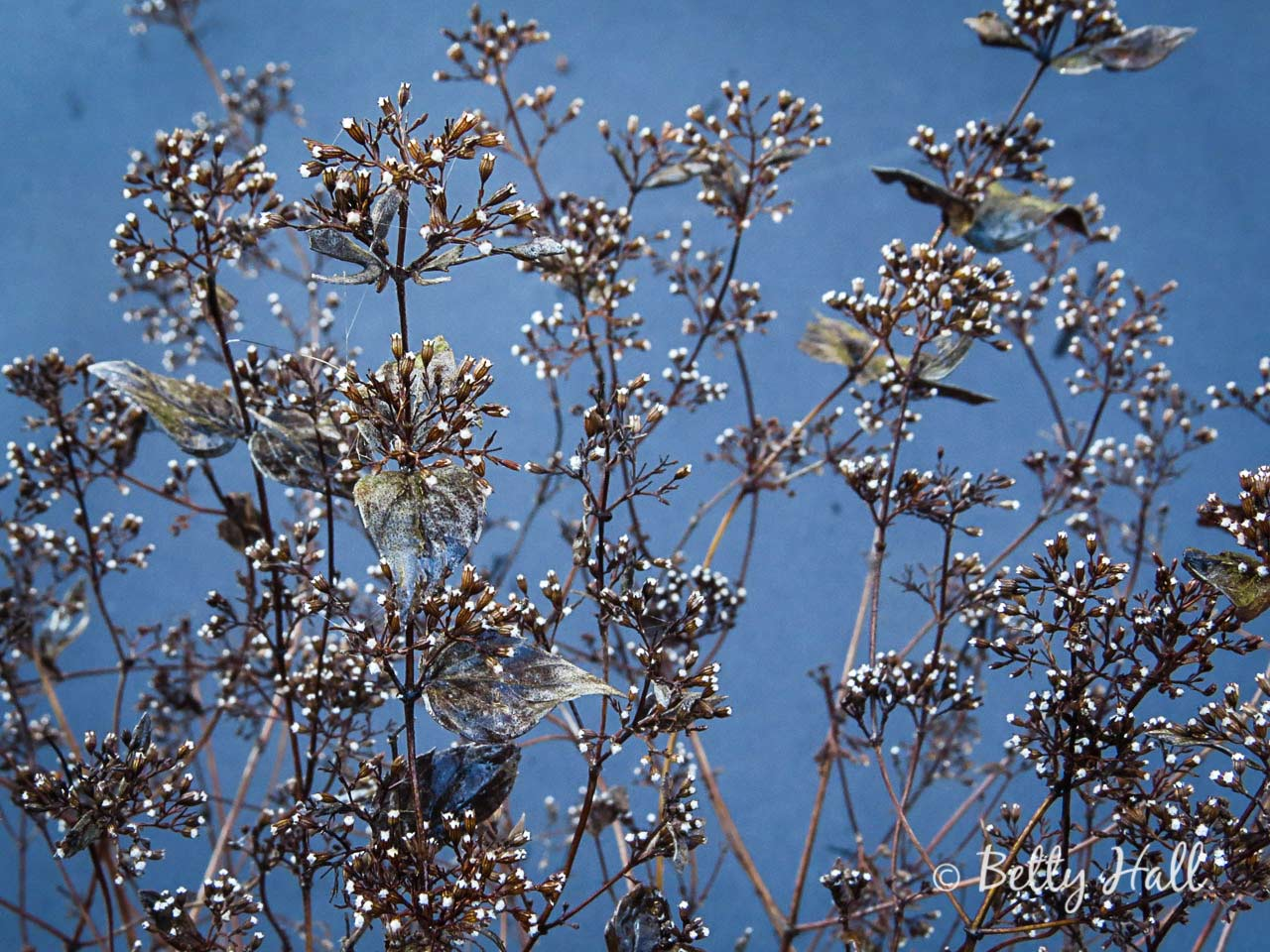 Common dittany seed heads