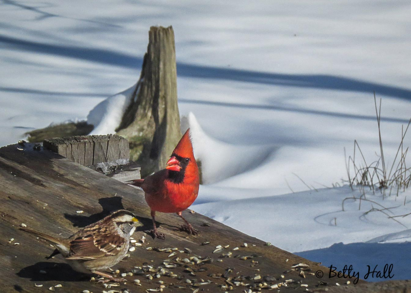 Male cardinal and whitet-hroated sparrow