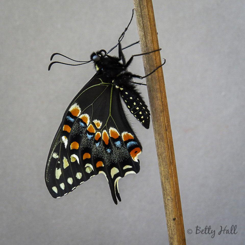 Black Swallowtail 3-27-16
