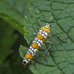 47 2401 Ailanthus Webworm-101