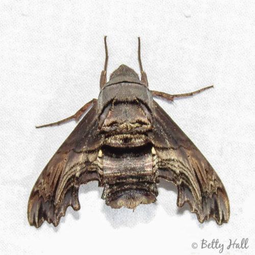Abbott's Sphinx moth