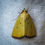 Black-bordered Lemon moth