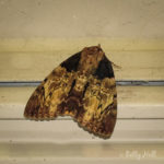 Clouded Underwing moth