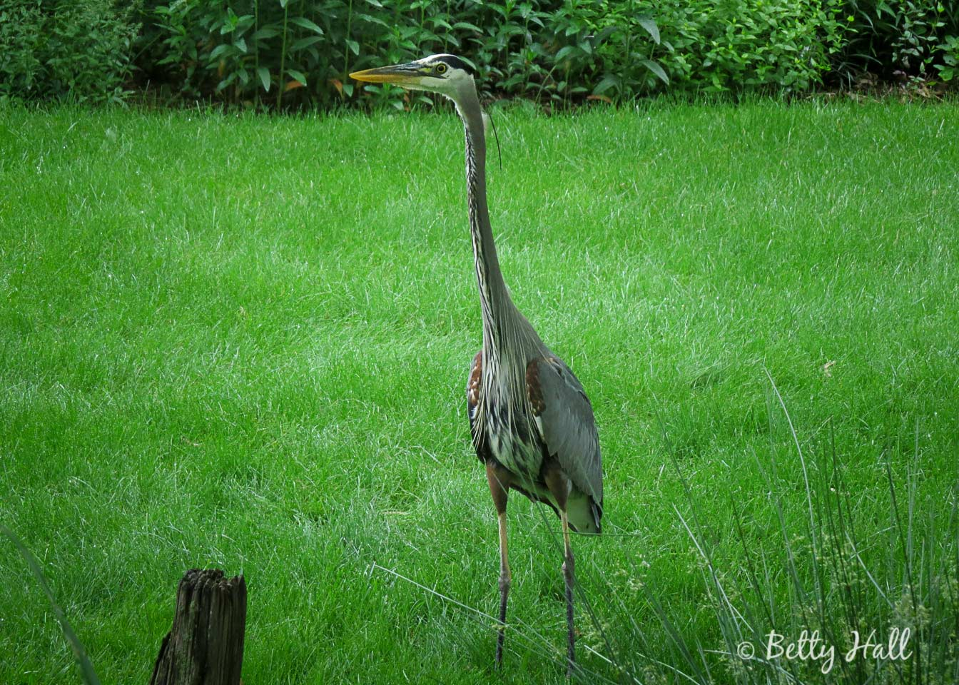 Great Blue Heron in backyard