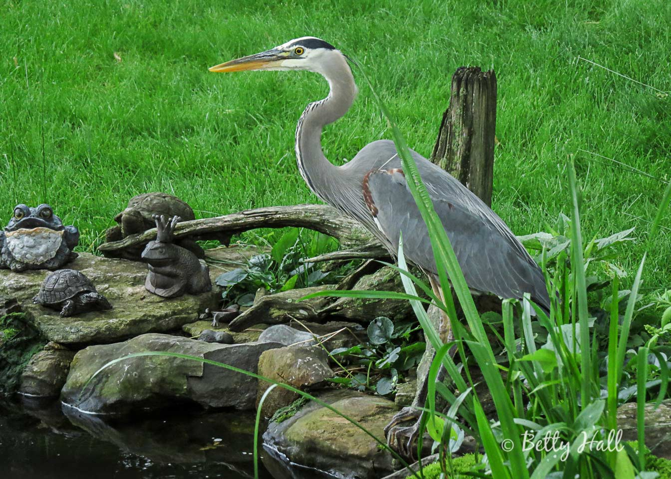 Great Blue Heron near water