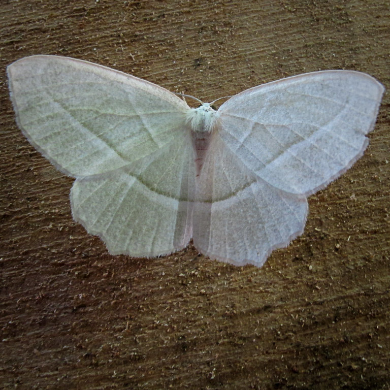 Pale beauty moth