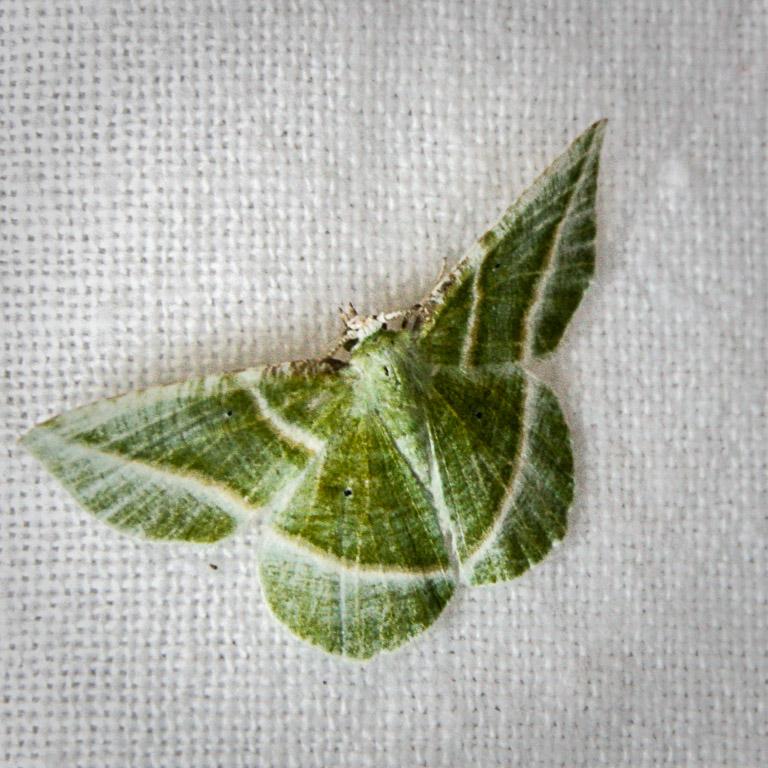 Showy Emerald moth