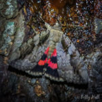 The Sweetheart moth