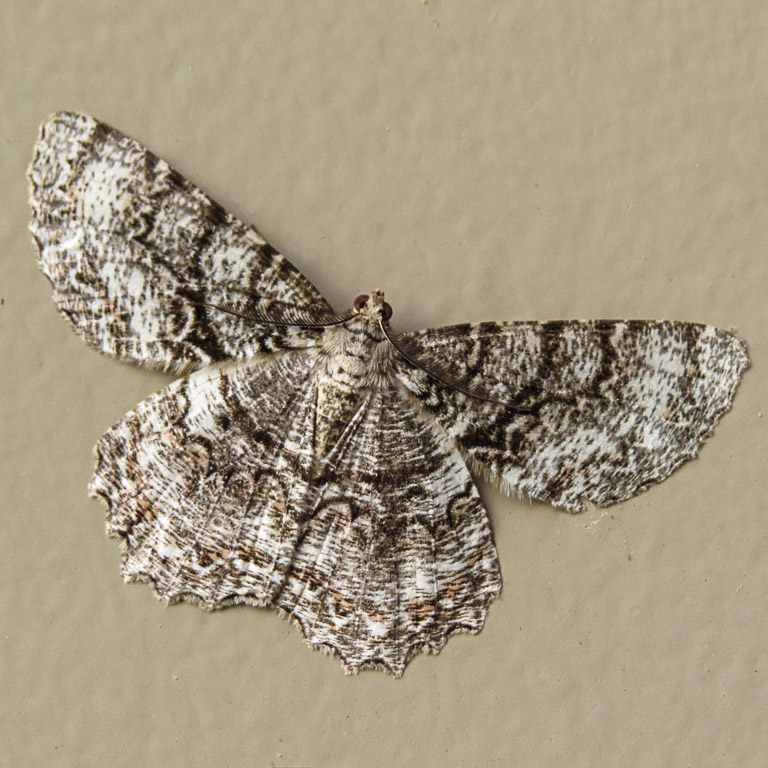 Tulip-Tree Beauty moth