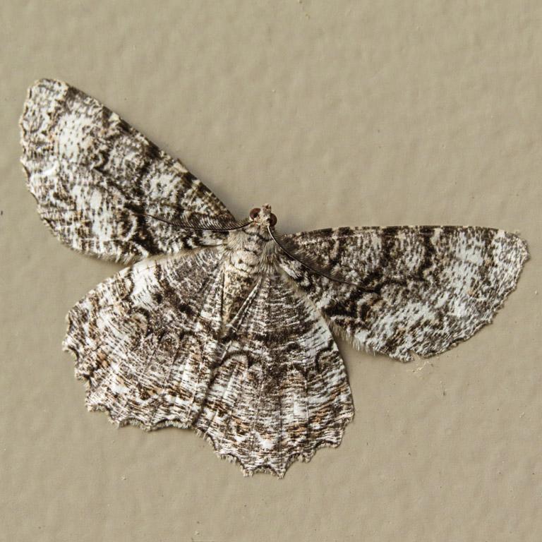 Tulip-Tree Beauty moth